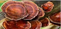 Китайский гриб рейши