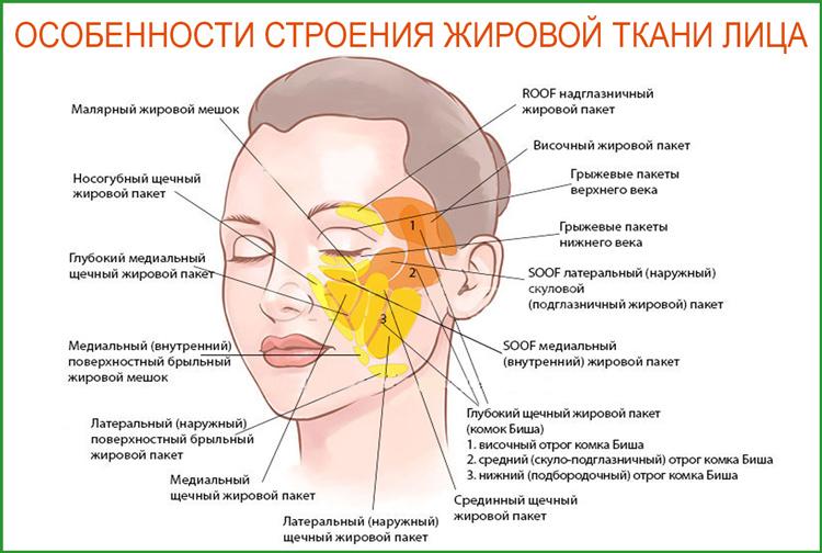 Как устроена жировая ткань лица человека?